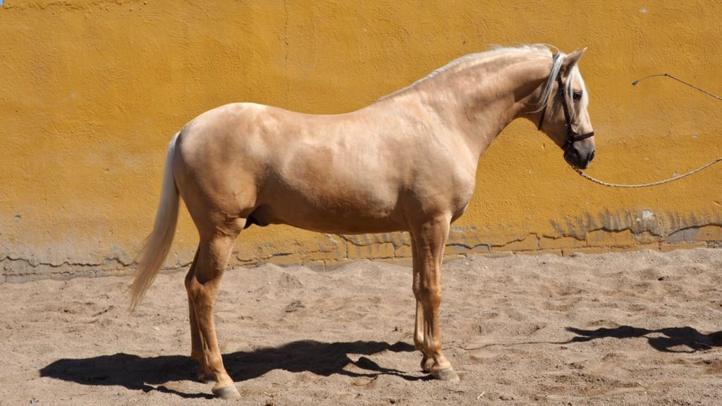 Beautiful Palomino PRE Horse for sale. Cod 12867