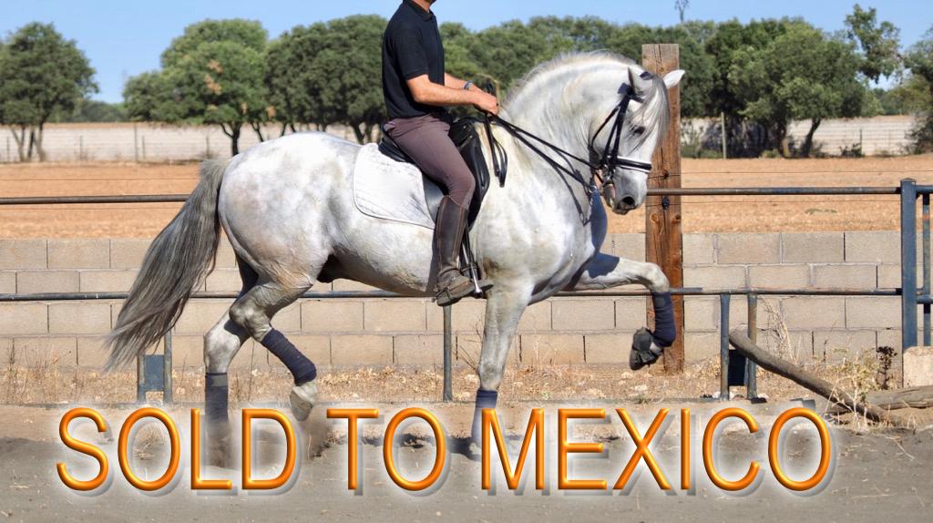 Ausdrucksstarkes andalusisches Pferd für Morphologic Show. Cod 12913