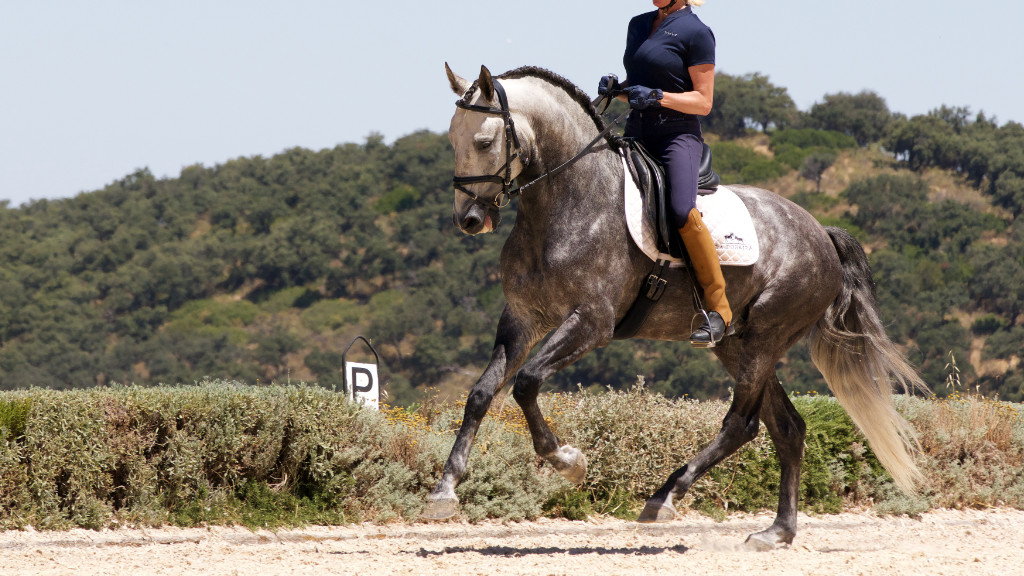 Lusitano Horse with power for dressage. Cod 12827
