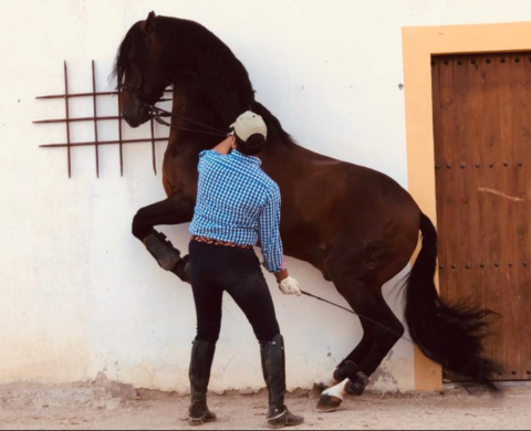 Andalusian Horse High School piro free. Cod 13160