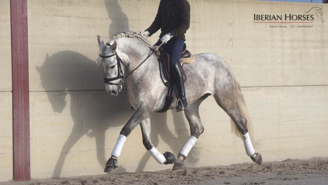Andalusian Horse with good movements for dressage. Cod 13910