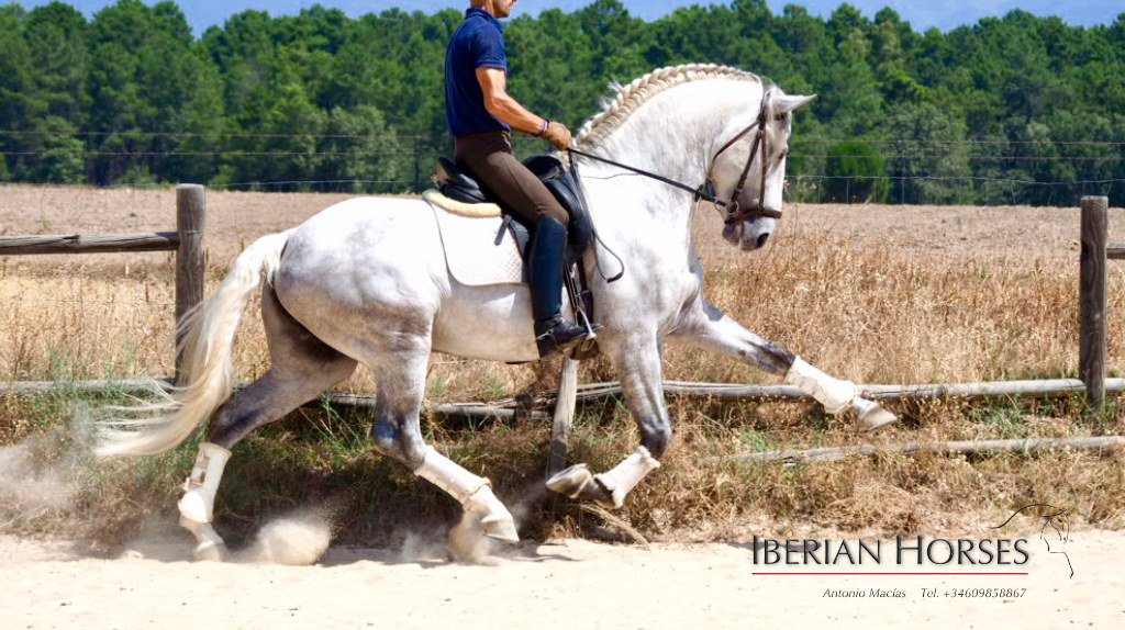 top dressage lusitano horse good movements