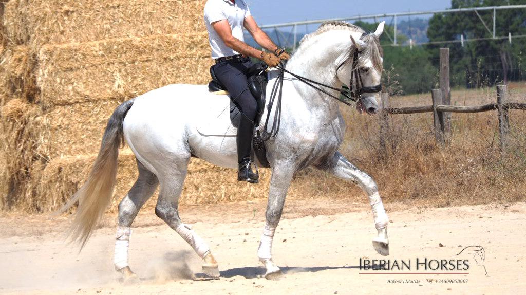 Lusitano Pferd 170 cm groß mit guter Herkunft. Cod 14259