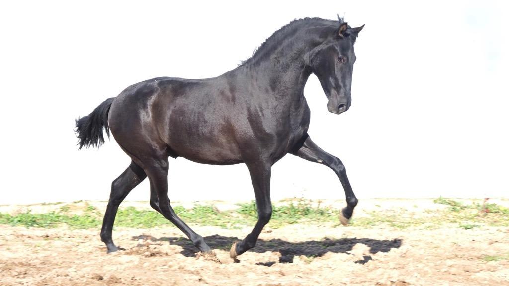 Black Andalusian Valdeolivas Colt pyro free. Cod. 14601
