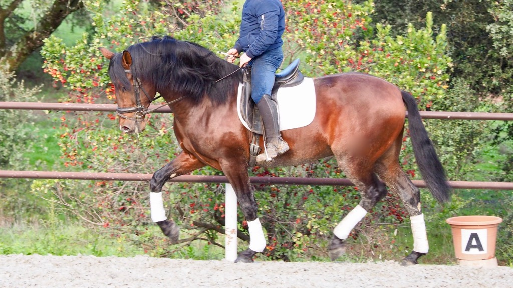 Easy Andalusian Horse for all  kinds of rider. Cod 14628