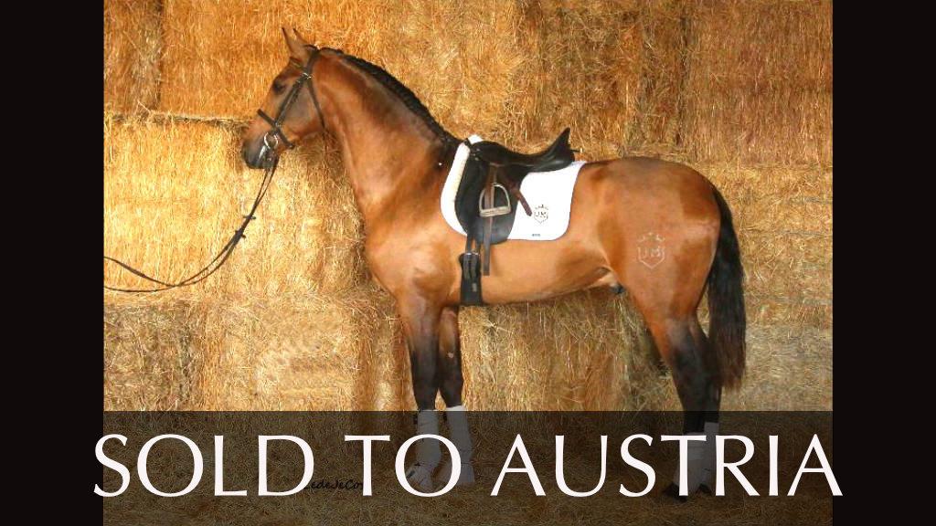 Brilliant Buckskin PRE Horse very tall. Cod 15597