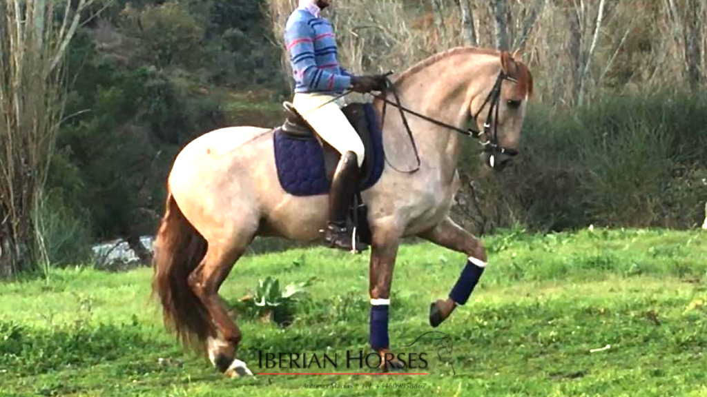 Chestnut Andalusian horse possible carrier of PRL gene. Cod 13461