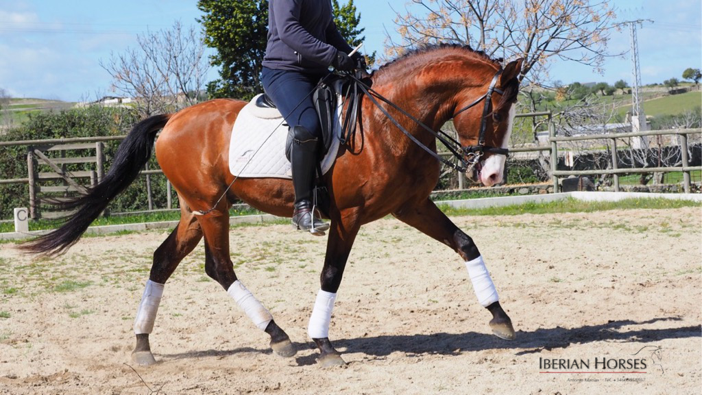 Lusitano Horse grandson of Rajá for sale. Cod. 12382