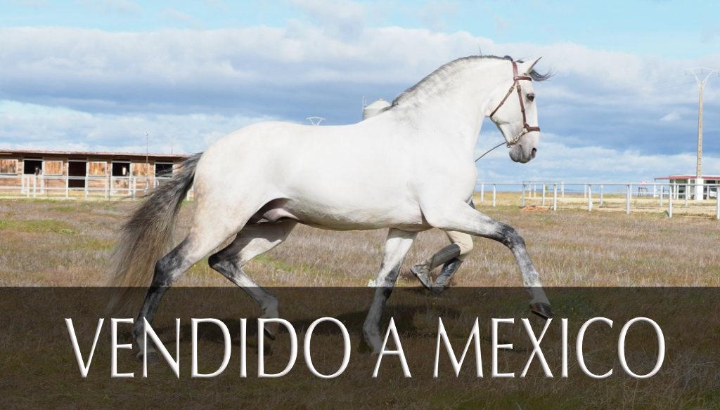 Fantastic Lusitano Horse Piro free. Cod 15158