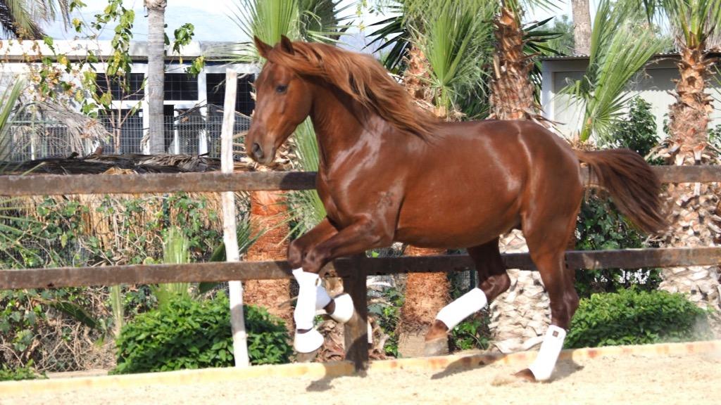 PRE Horse Top Mover Dressage Prospect. Cod 15064