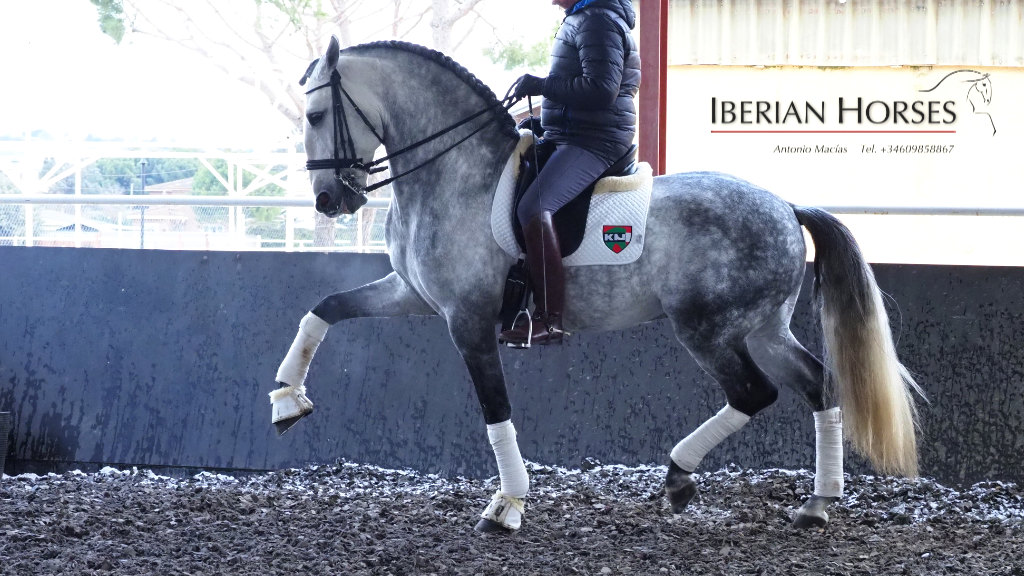 Exceptional Lusitano horse with Piaffe and Passage. Cod 15084