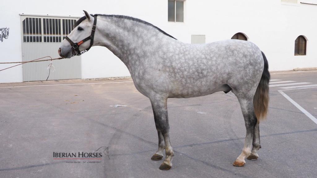 Impressive PRE horse with Cárdenas brand. Cod 15349