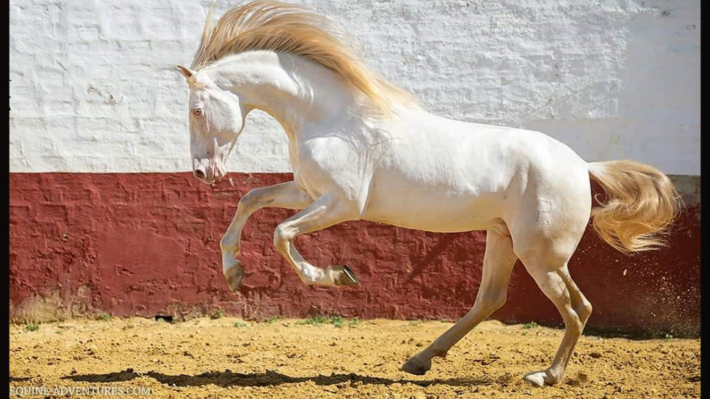 Perlino Stallion Horse with Peralta brand. Cod 15674