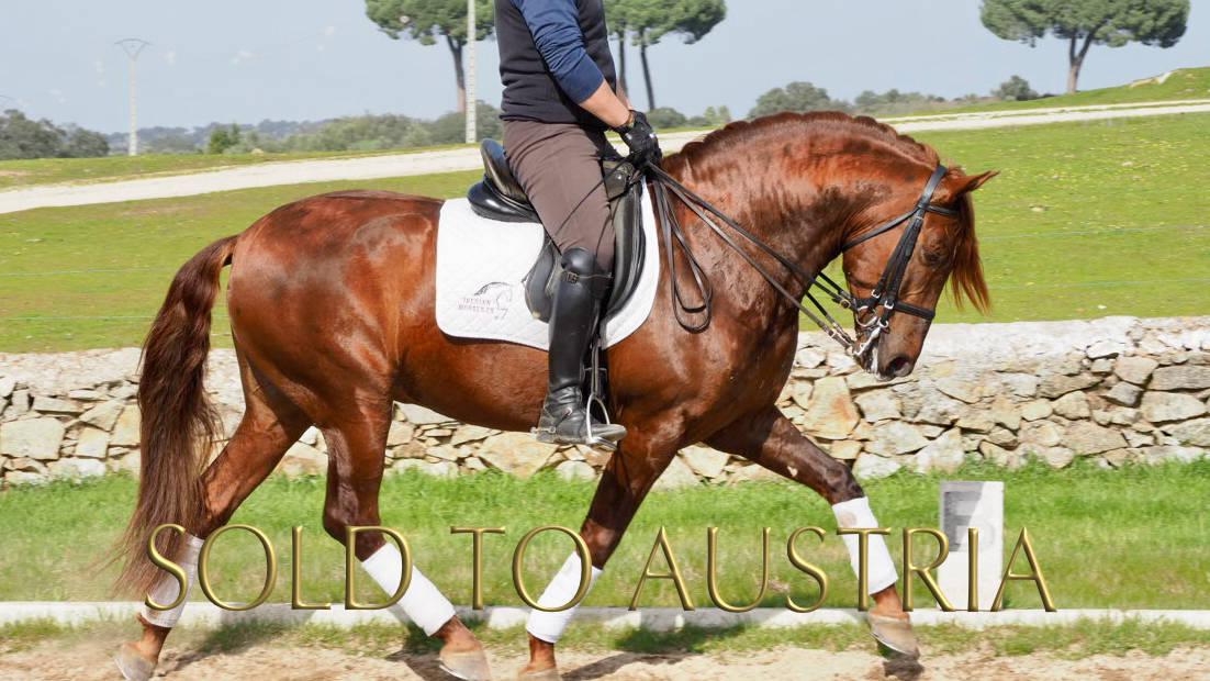 Barock Andalusier Pferd piro frei. Cod 18204