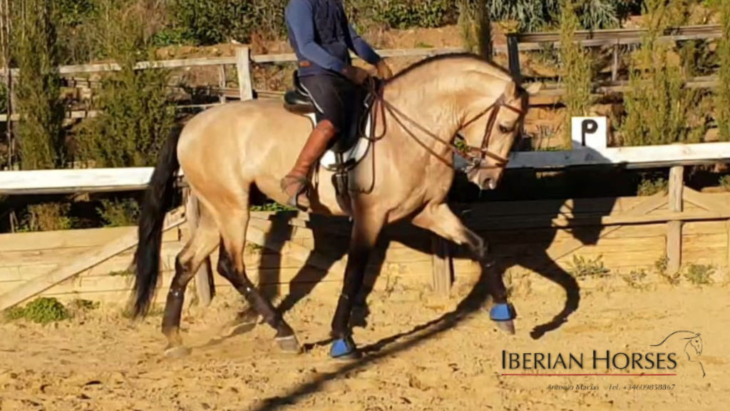 Interesting Buckskin PRE  horse for sale. Cod 15543