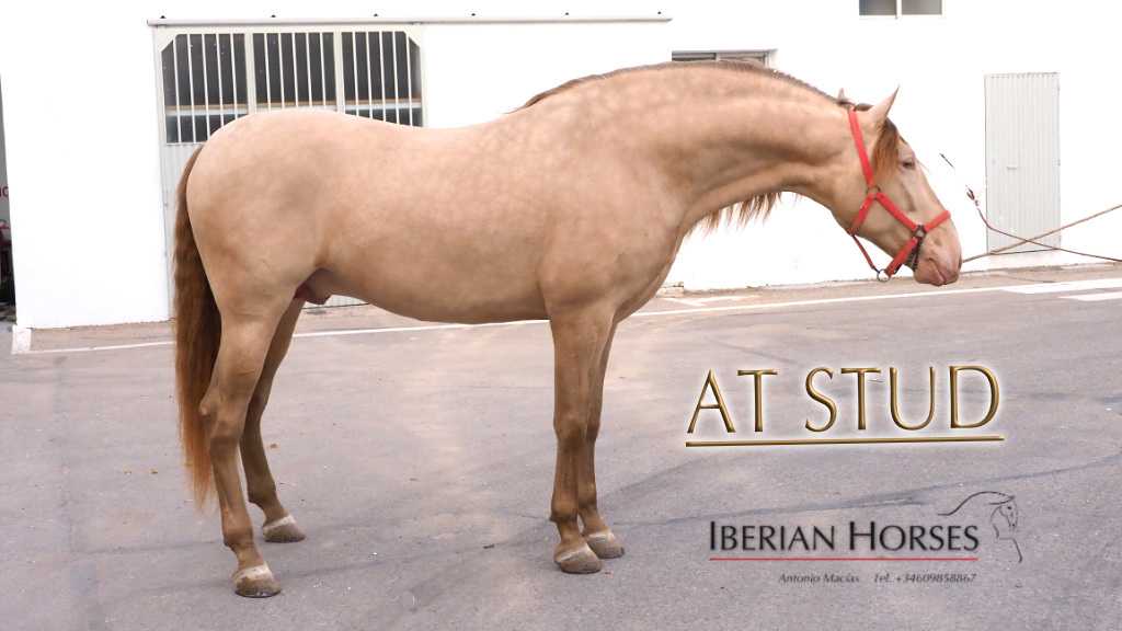 Exclusive Perlino PRE at stud good quality with 174 cm. Code 8719
