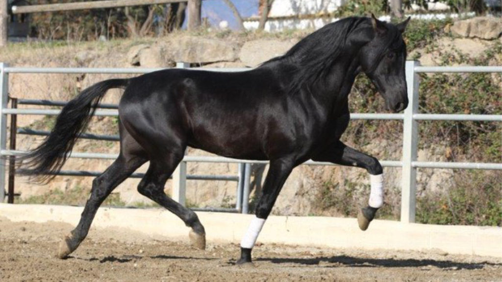 Black PRE stallion with PRL genotype for sale.  Cod 15636