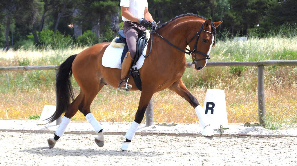 Top Dressage Grand Prix Prospect piro free. Cod 15576