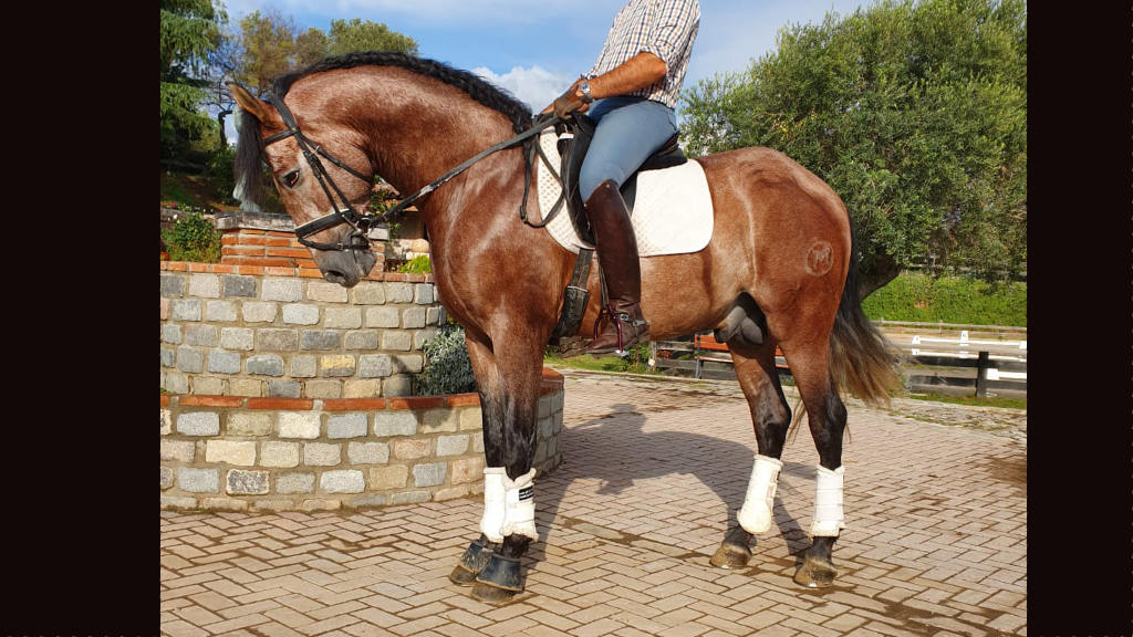 Andalusian horse with good character and potential for dressage. Cod 15801