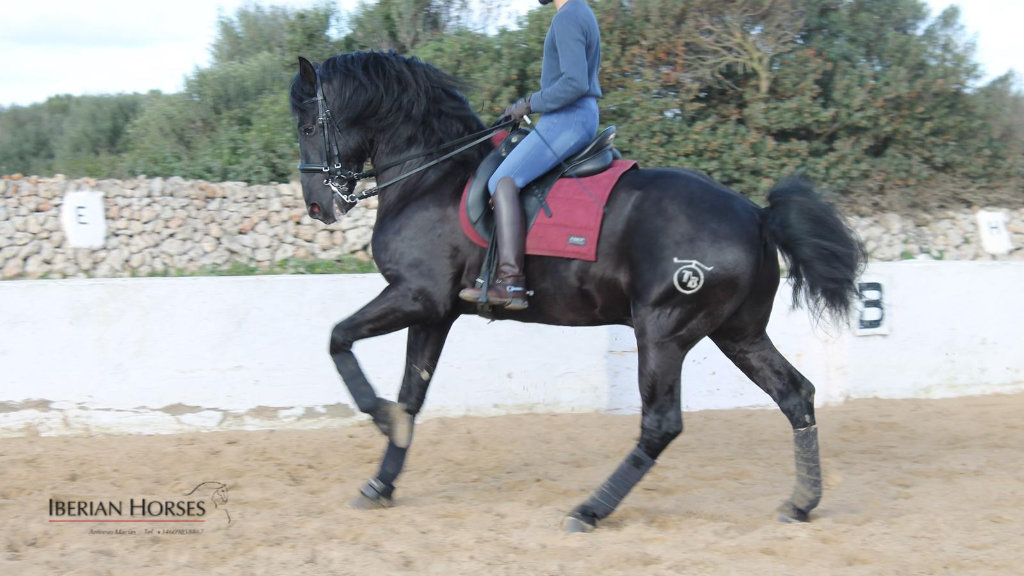 Qualified Menorcan Stallion initiated in Piaffe and Passage. Cod 15821