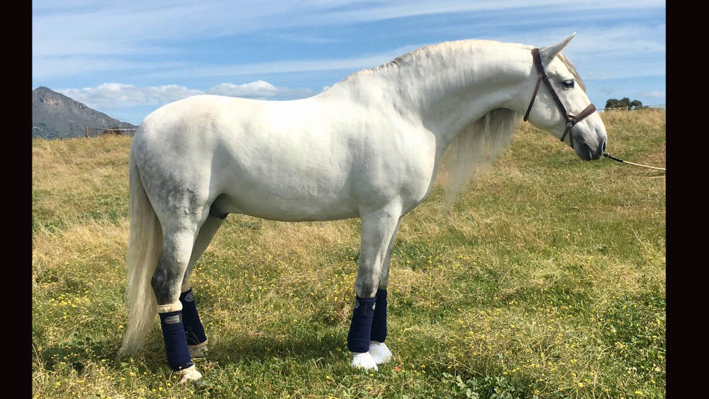 Beautiful Andalusian Horse with a lot of class. Cod 15766