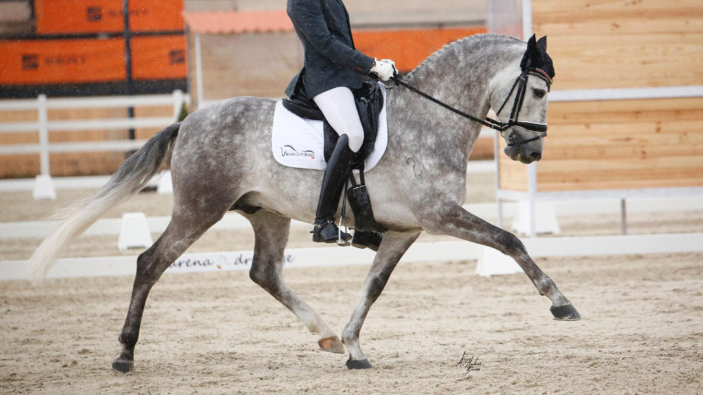 Interesting Spanish horse with potential for dressage. Cod 15987