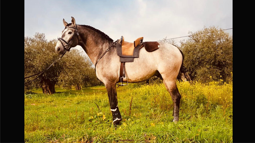 Interesting Lusitano horse for dressage. Cod 16082
