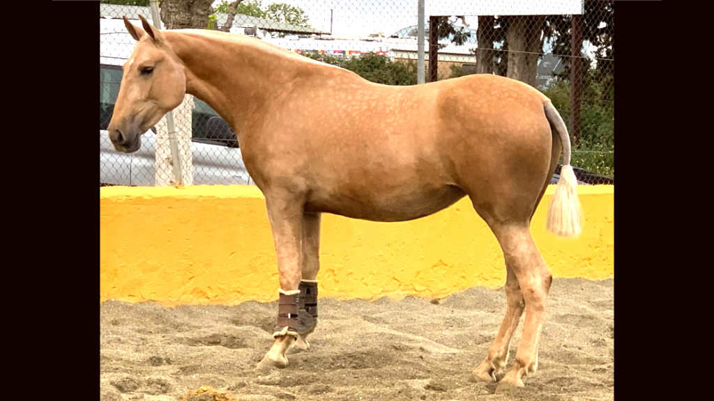 Special PRE Palomina filly for sale. Cod 16055