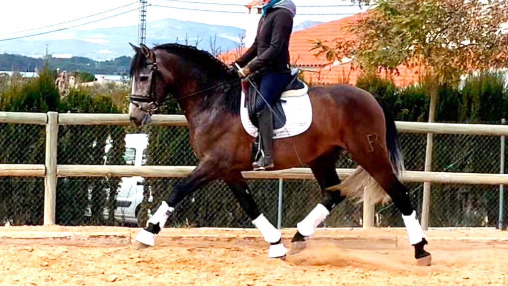 Andalusian Horse with good gaits for dressage. Cod 16022