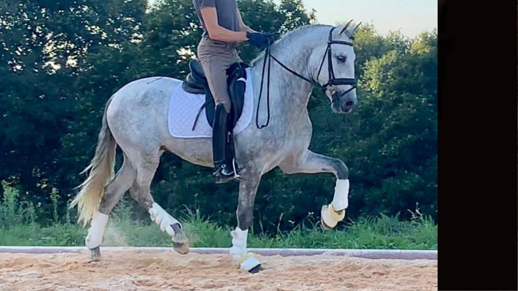 Beautiful Andalusian Horse for dressage and Pleasure. Cod 15932