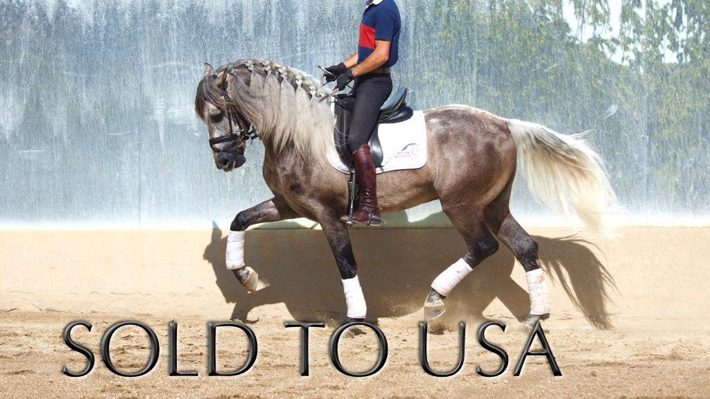 Spanische Pferd Schimmel Piro frei mit Qualität für die Dressur. Cod 5411