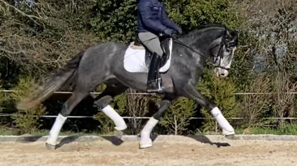 Fantastic Andalusian Horse for dressage