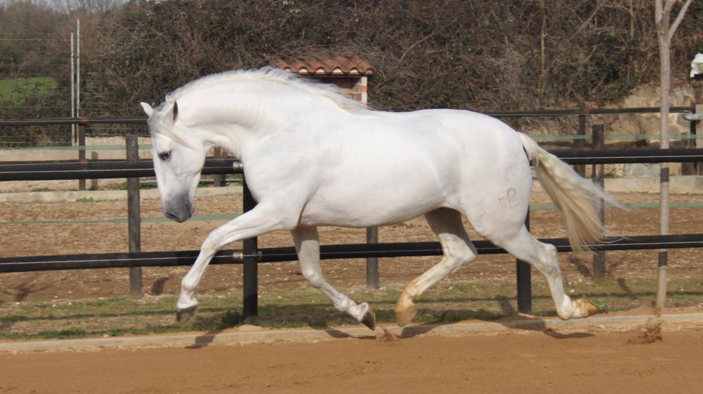 Andalusian Horse for sale piro free