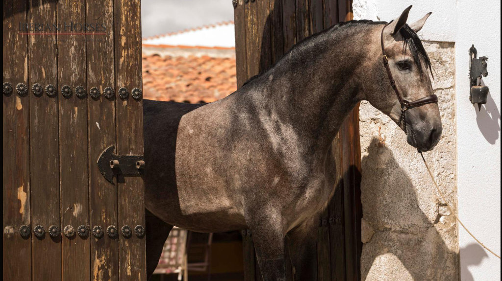 Impressive Andalusian horse with good origins piro free