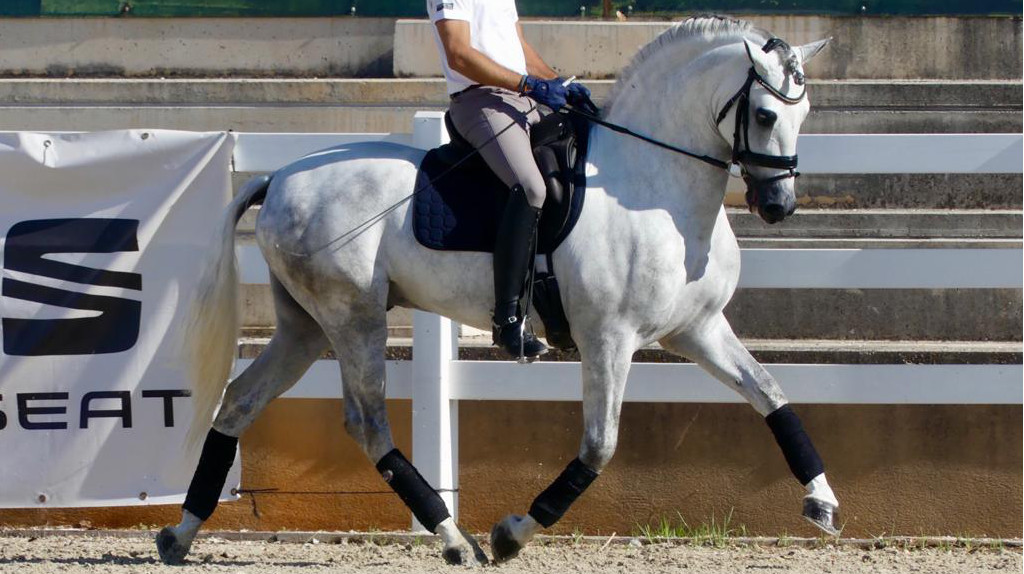 Andalusian Horse for sale good gaits for dressage good price