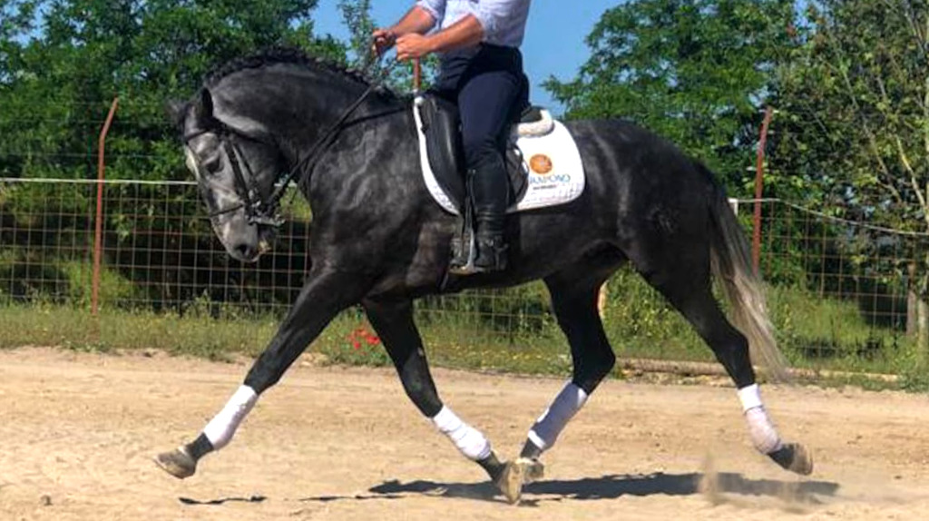 Lusitano horse with good gaits and piro free. Cod 16416