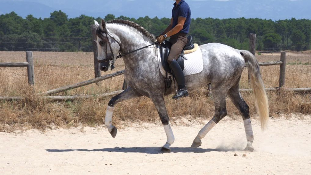 PRE horse for dressage and leisure piro free. Cod 16428