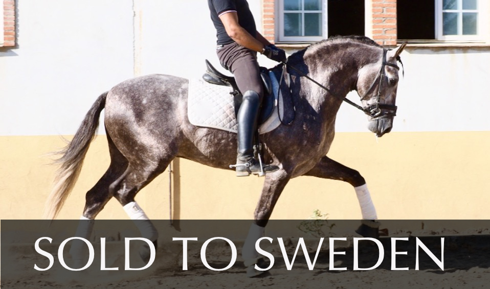 Schimmel andalusisches Pferd mit gutem Ursprung. Cod 8083