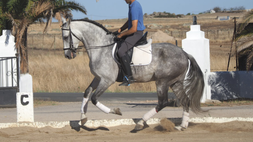 Spektakuläres graues PRE-Pferd mit guter Morphologie und Charakter. Cod 16553