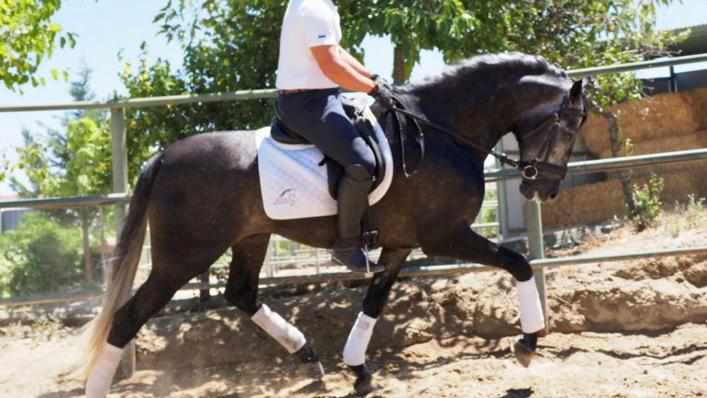 Top PRE Horse for dressage with good character. Cod 16459