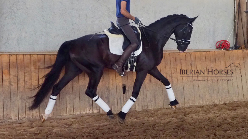 Top sport horse with very good bloodlines