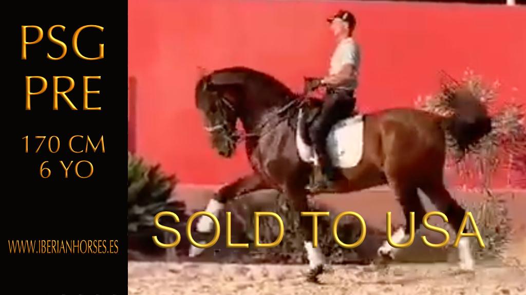 PRE Horse PSG Niveau gültig für jeden Reiter. Cod 16108