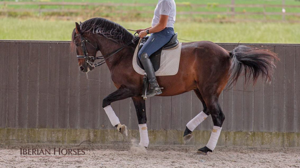 Lusitano Horse PSG level with piaffe and passage