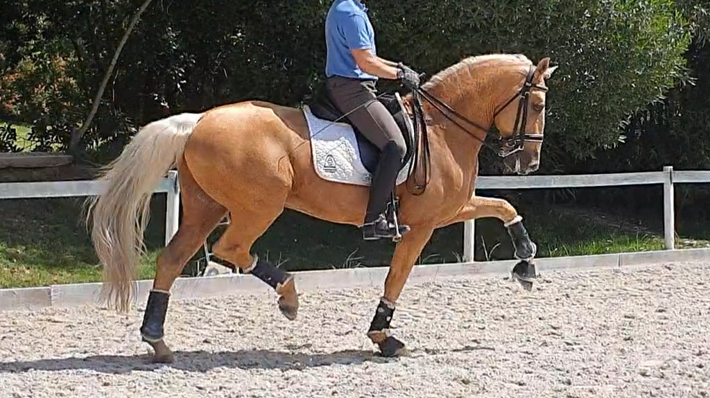 Beautiful Lusitano Palomino Horse for sale. Cod 16813