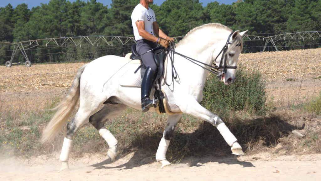 Wunderschönes barockes PRE-Pferd mit Piaffe. Cod 17351