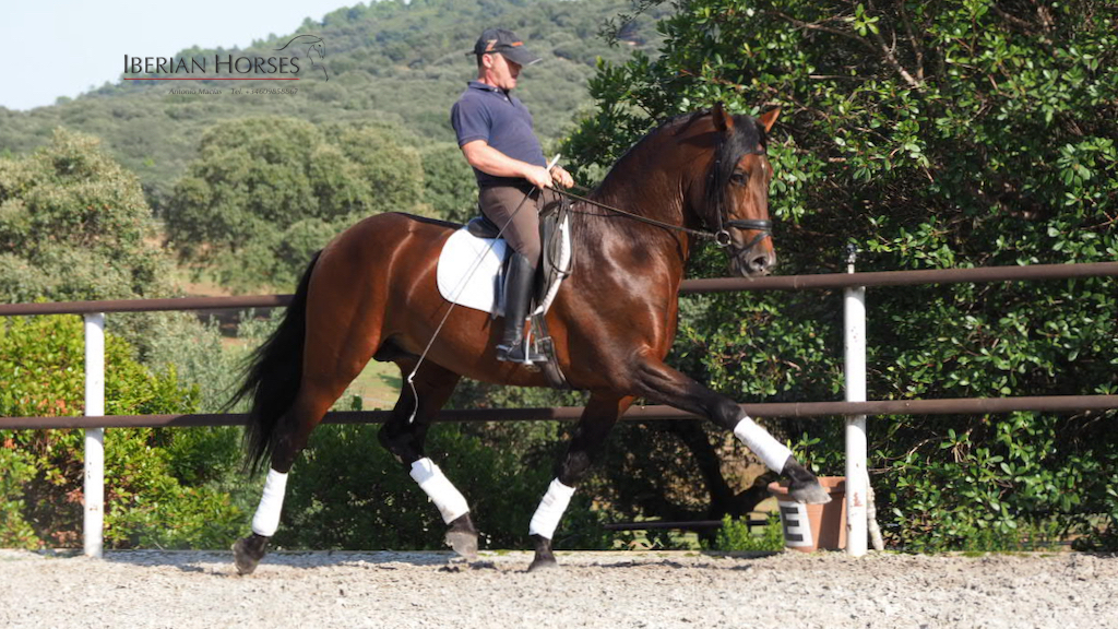 andalusian horses for sale
