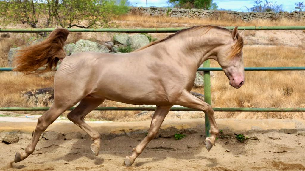 Exklusives Pearl Andalusier Pferd mit guten Bewegungen.