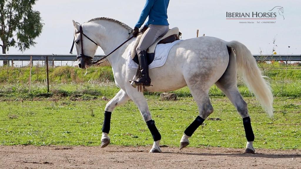 Wunderschönes spanisches Pferd und ausgezeichnete Blutlinien. Cod 17595