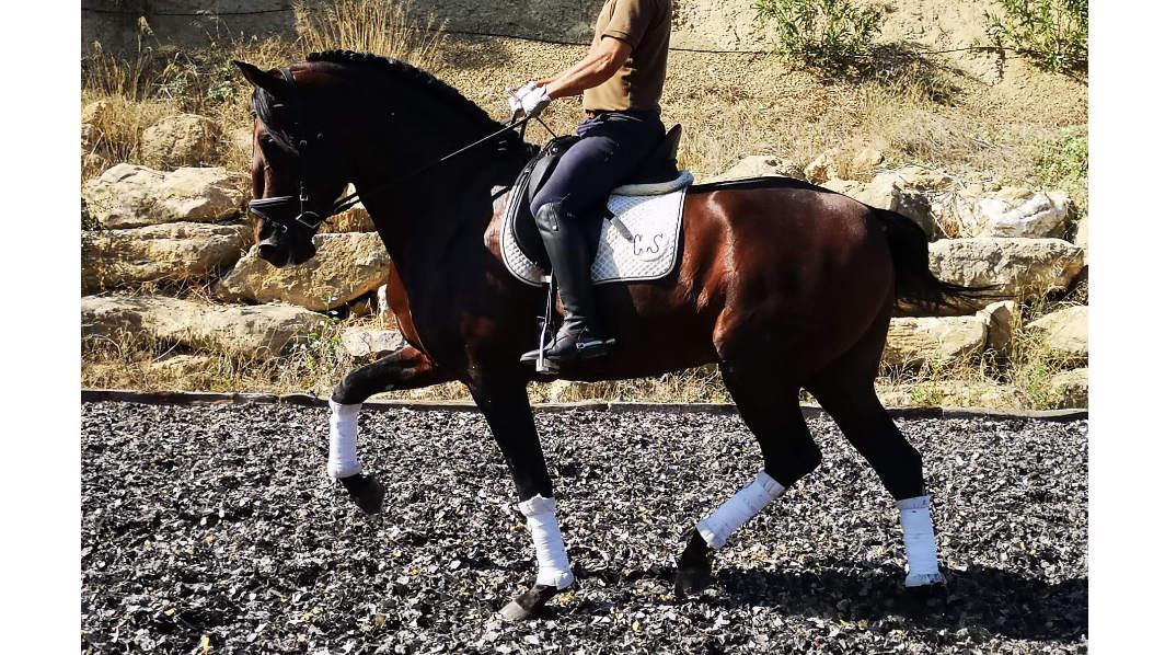 Especial caballo PRE para Doma y Cria. Cod 17721