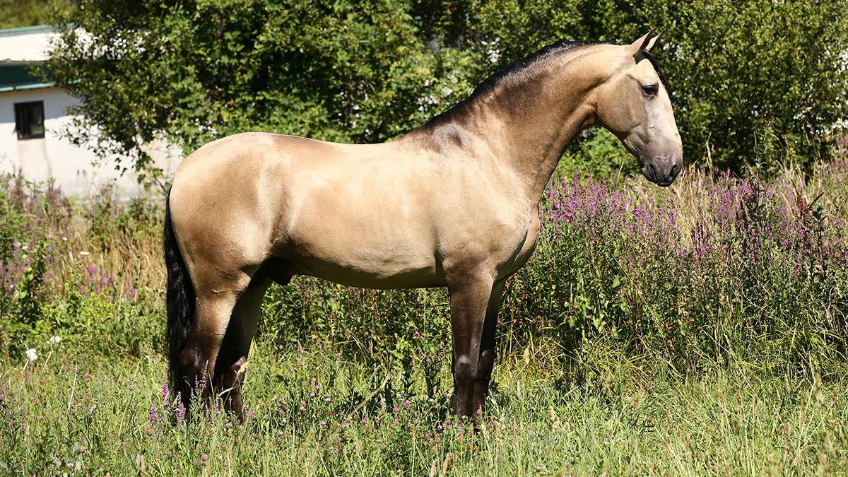 PRE Pferd Buckskin zu verkaufen- Top Qualität. Cod 17753